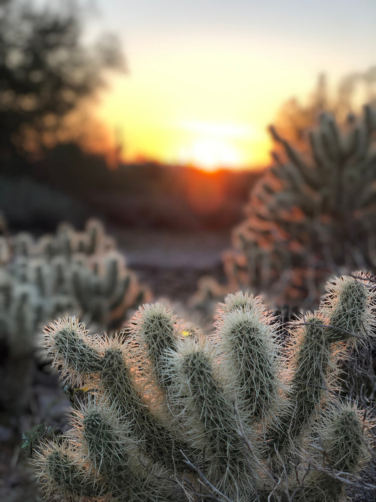 Cactus Plants and Sunset in Lost Dutchman State Park Arizona