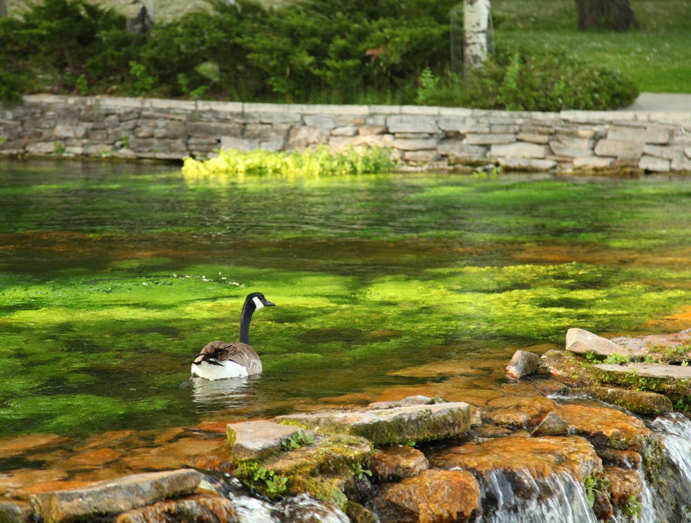 Canada Geese Floating in Giant Springs State Park Montana