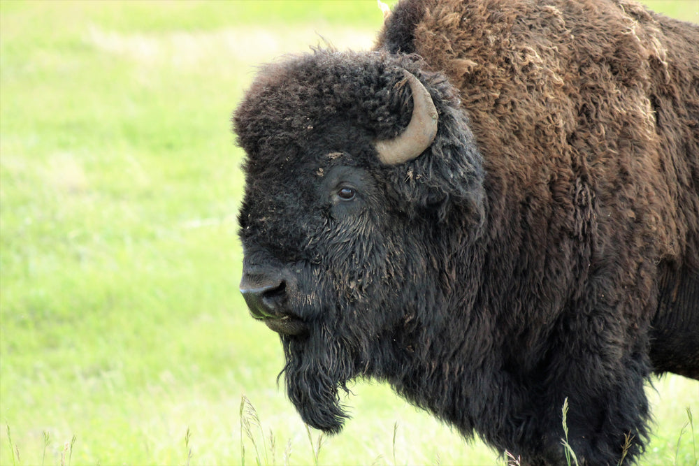 Close up Photo of Bison Standing on Grassy Field in Wind Cave National Park