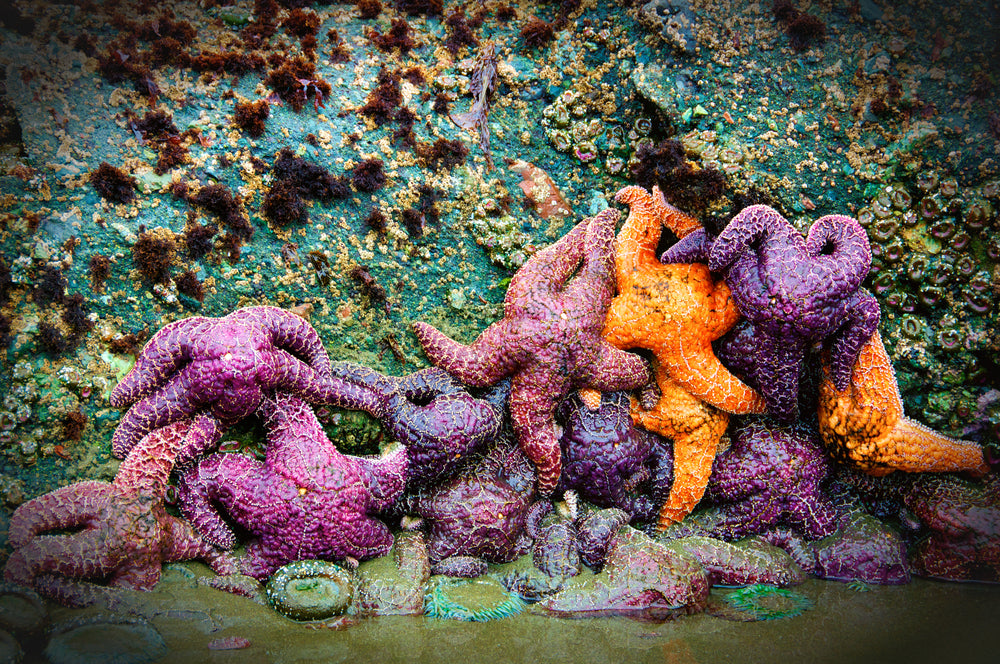 Colorful Starfish on Rocks During Low Tide in Olympic National Park Washington