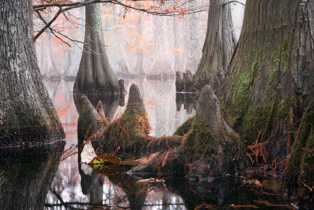 Cypress Trees in Lake in Chico State Park Louisiana