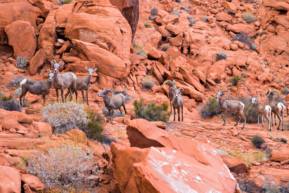Desert Big Horn Sheep Standing on Cliffs in Valley of Fire State Park Nevada