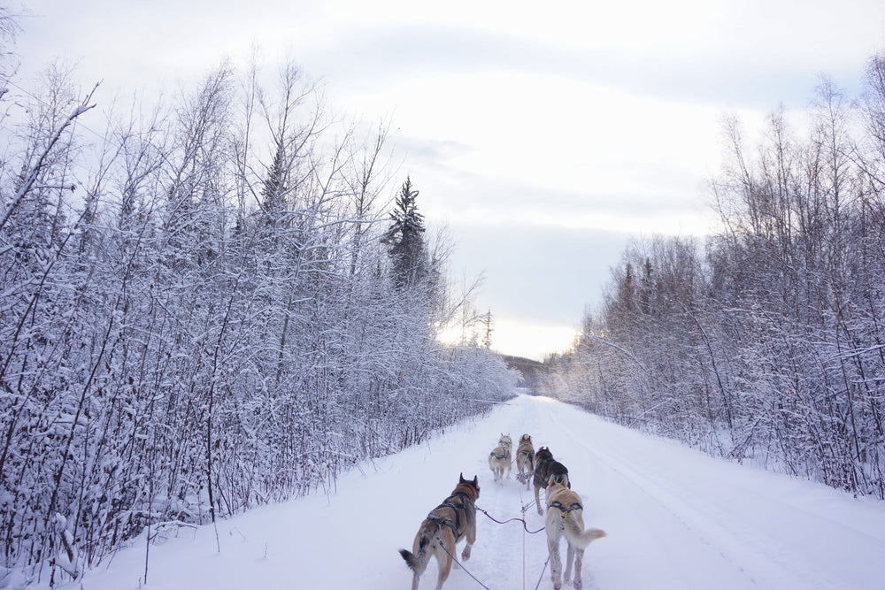 Dog Sledders in Snow Covered Forest Fairbanks Alaska