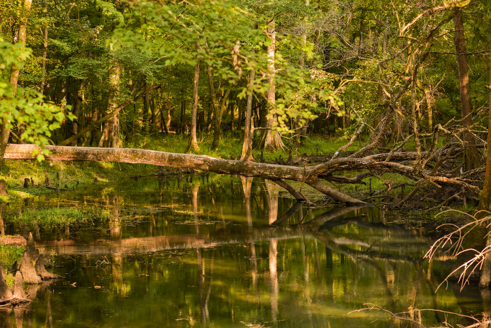 Fallen Trees in Reflecting Pond in Florida Caverns State Park Florida