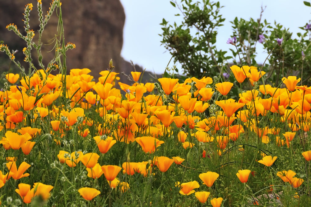 Field of Mexican Gold Poppies in Lost Dutchman State Park Arizona
