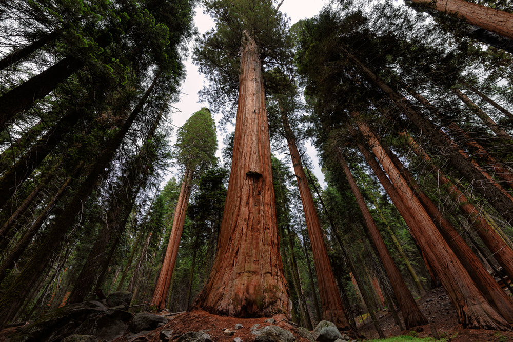 Giant Sequoia Tree in Sequoia Forest National Park California