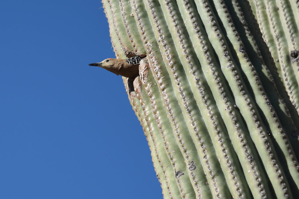 Gila Woodpecker Peeking Out of Nest Inside Cactus in Saguaro National Park