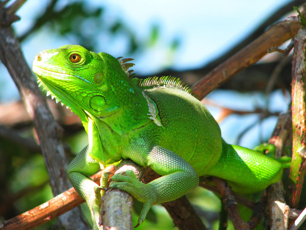 Green Lizard Perched on Branches in Bahia Honda State Park Florida