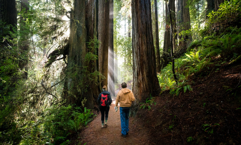 Hikers Walking Through Giant Redwood Forest Redwood National and State Parks California