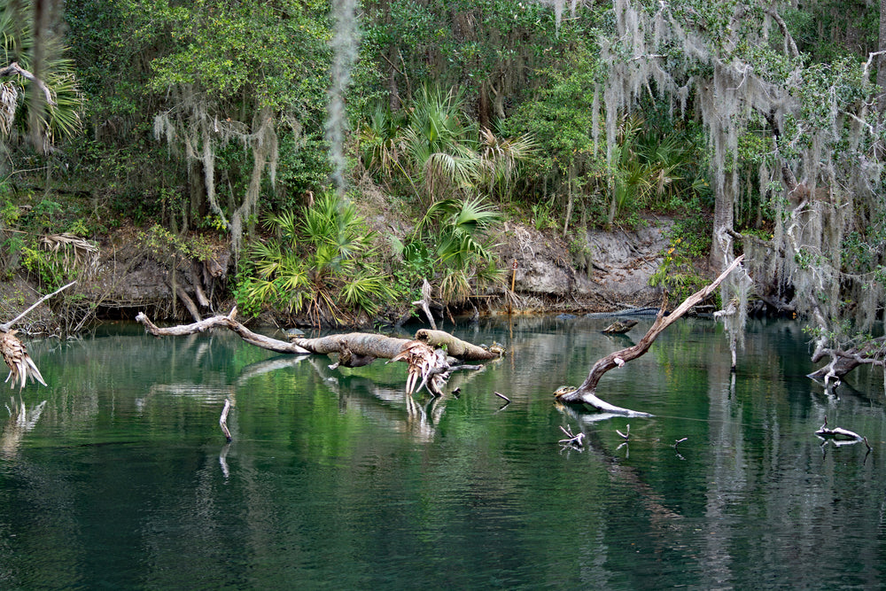 Home of Manatees at Manatee Springs State Park Florida