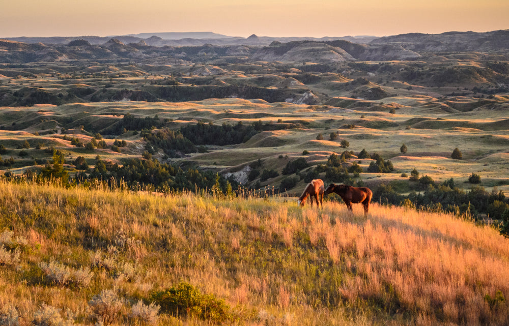 Horses Roaming in Grasslands Little Missouri State Park North Dakota