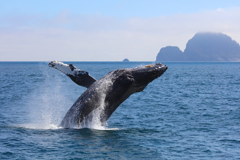 Humpback Whale Breaching the Ocean in Kenai Fjords National  Park Alaska-usa
