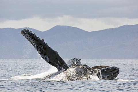 Hupback whales in Channel Islands