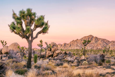 Joshua Tree National Park tree all alone