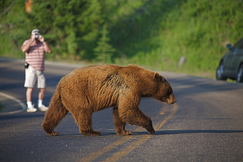 Large Cinnamon Black Bear crossing road with photographer in background at Yellowstone National Park