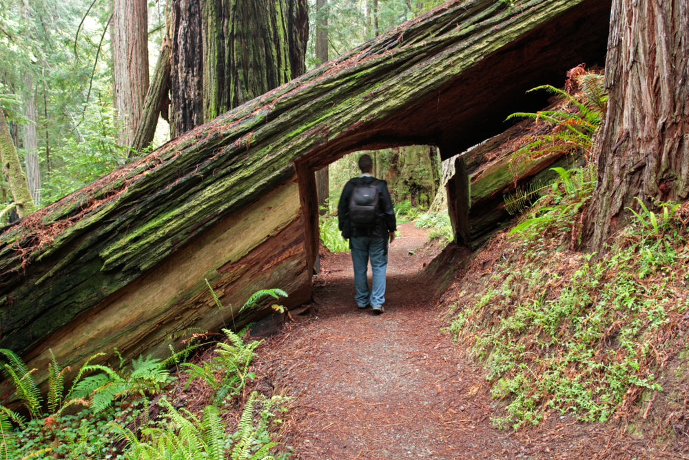 Man Walking Through Fallen Redwood Tree Prairie Creek Redwoods State Park California