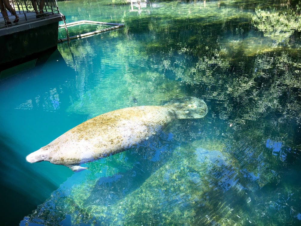 Manatee Swimming in Blue Spring State Park Florida