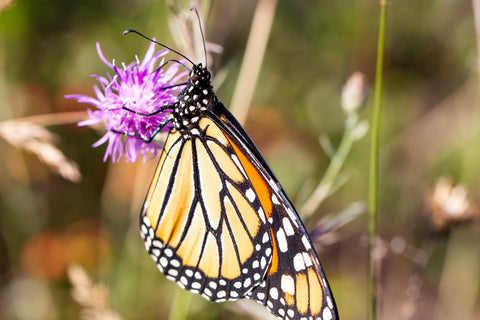 Monarch Butterfly perched on a pink flower in Silver Lake State Park Michigan