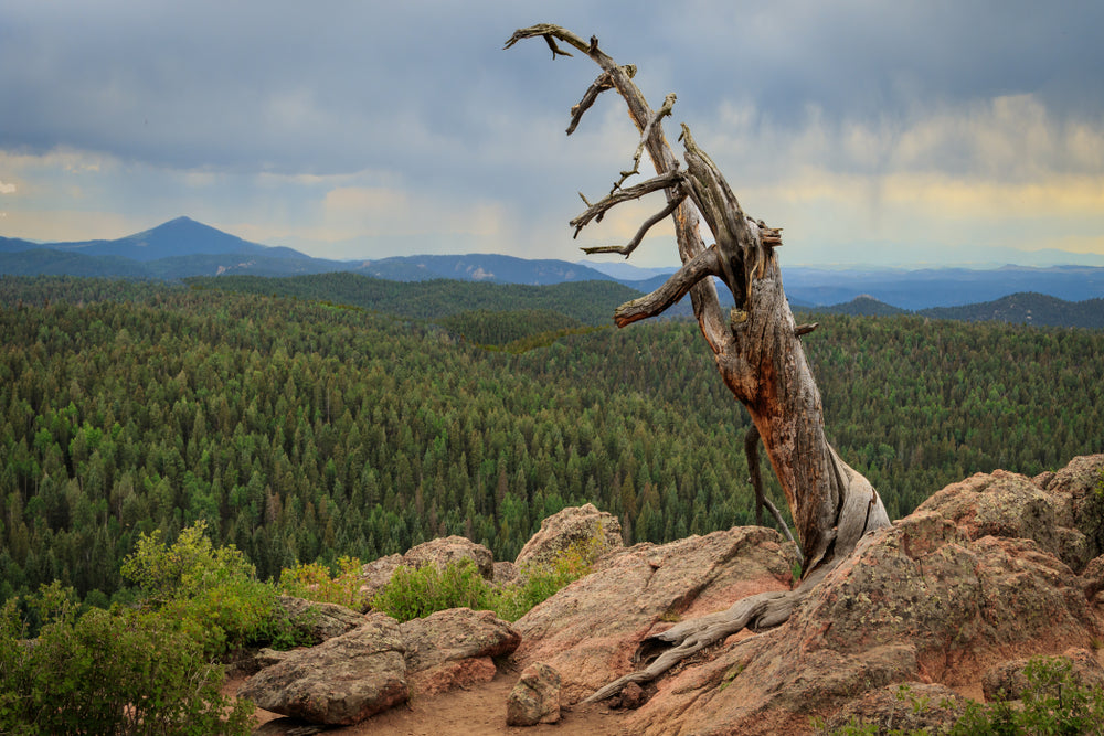 Old Tree on Top of Grouse Mountain in Mueller State Park Colorado