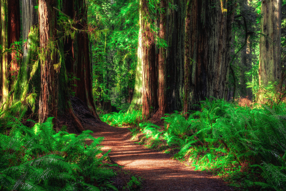 Path Through Redwood Forest at Redwood National and State Parks California