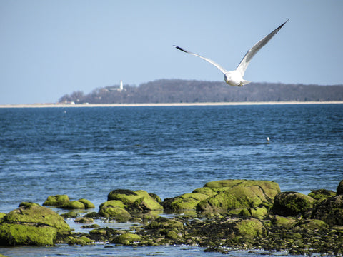 Seagull flying over green mossy rocks along beach in Caumsett State Park