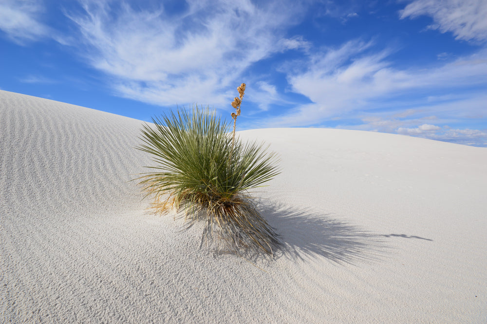 Soaptree Yucca Growing at White Sands National Park New Mexico
