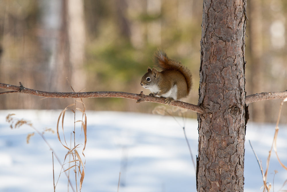 Squirrel Sitting on Branch During Winter in Itasca State Park Minnesota