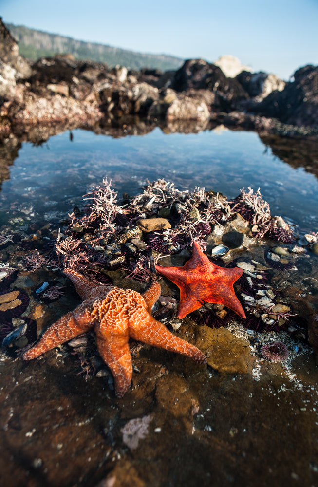 Starfish Along Shore in Salt Point State Park California