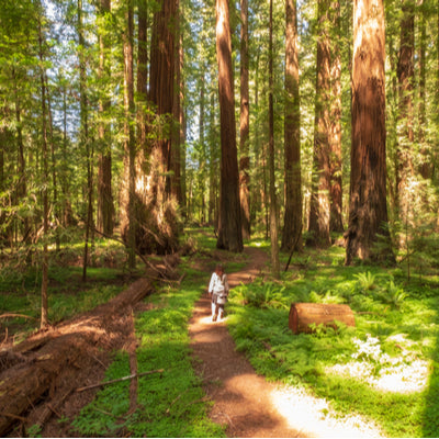 Hiker walking by the trail between trees at Humboldt Redwood State Park