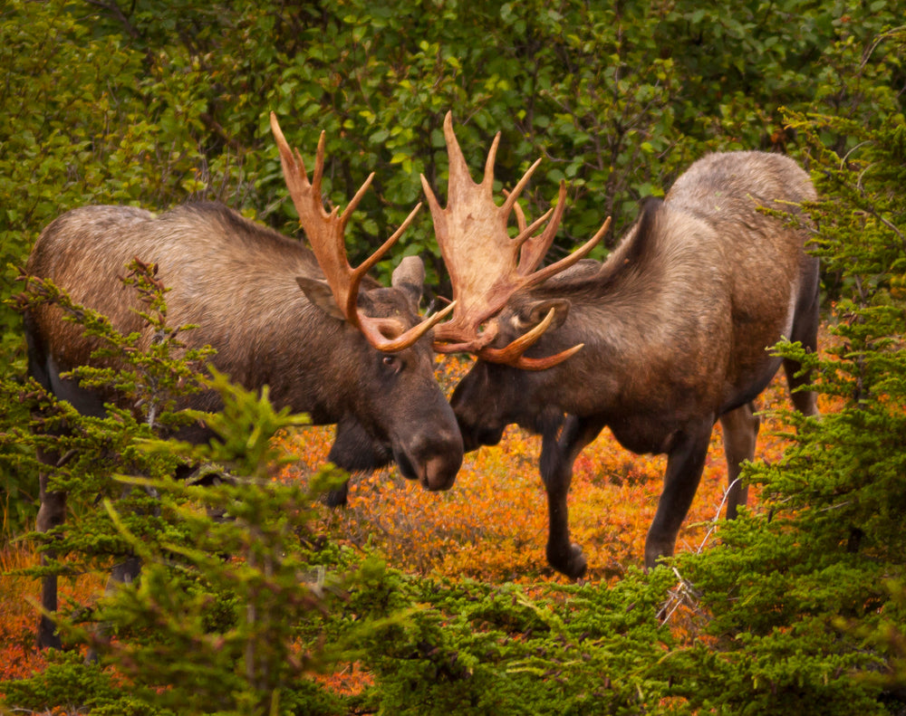 Two bull moose clashing antlers end of summer in Chugach State Park Alaska