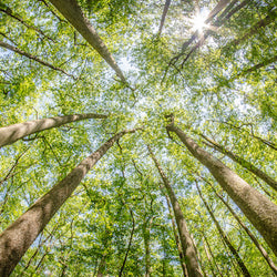 View looking up at trees in Cypress Forest of Congaree National Park, South Carolina