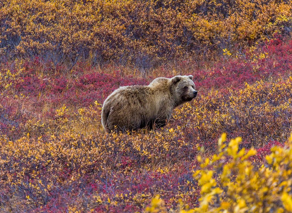 View of Grizzly Bear Feeding on Blueberries in Denali National Park Alaska