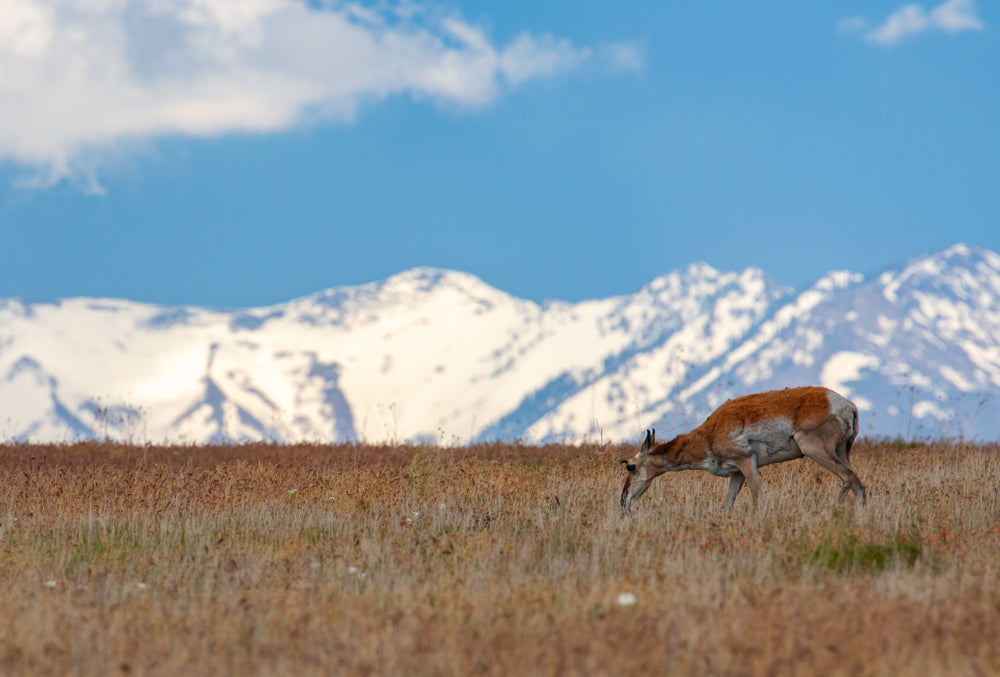 View of Pronghorn Antelope on Top of Hill at Antelope Island State Park Utah