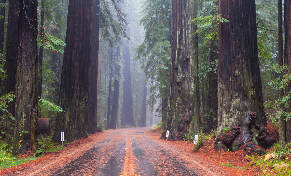 View of Road Through Redwood Forest at Humboldt Redwood State Park California