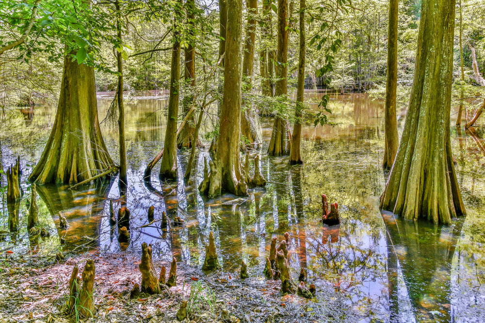 View of Swamp With Cypress Trees in Chico State Park Louisiana