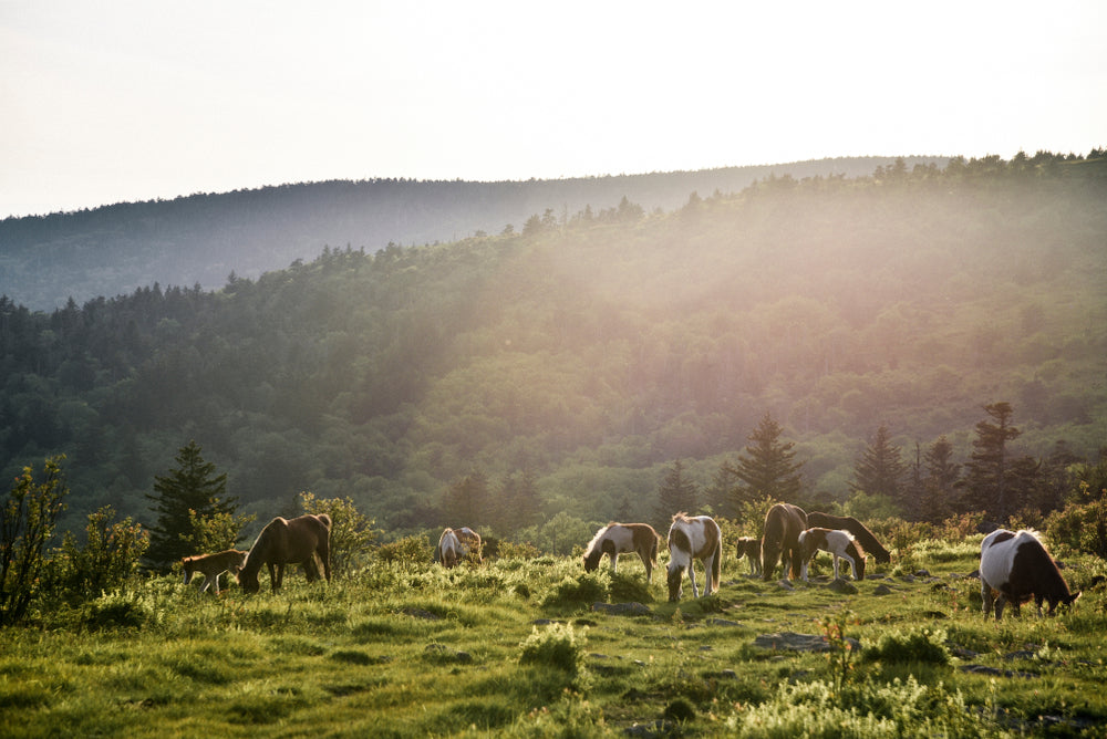 Wild Ponies Roaming Grasslands Grayson Highlands State Park Virginia