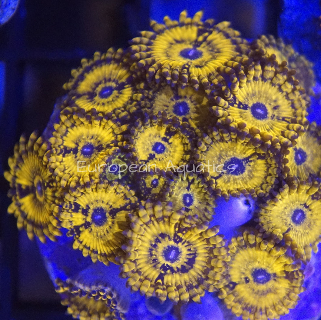 Golden Darth Maul Zoanthid