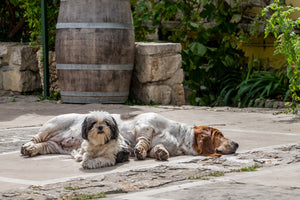French Village Dogs