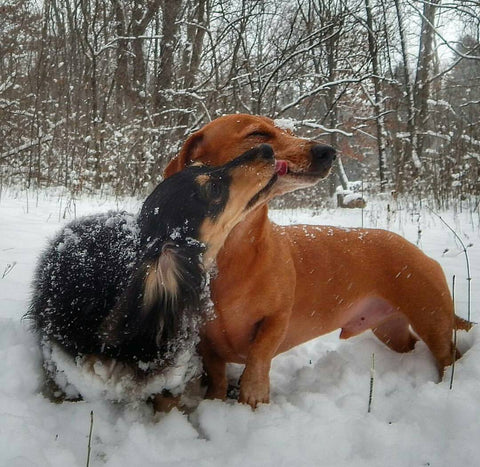 sausage dogs kissing int the snow