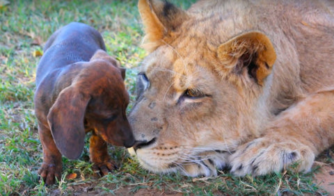 brindle dachshund kisses young lion