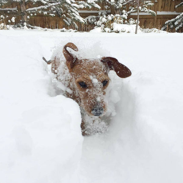 dashing through the snow doxie style