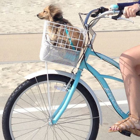 Dachshund riding in a bike basket