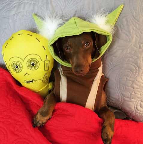 Scrappy The Doxie as Yoda Star Weens May the 4th Doxie style
