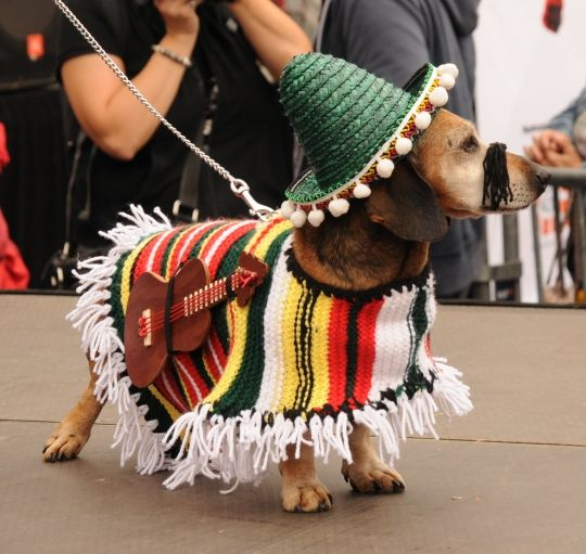 dachshund in Mexican costume