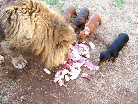 Dachshunds and lion eating together
