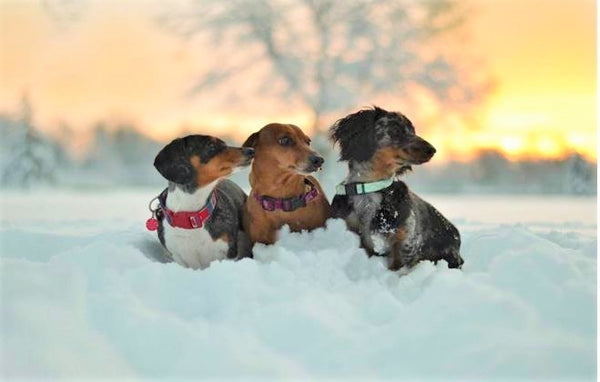 snow dachshunds & sunset