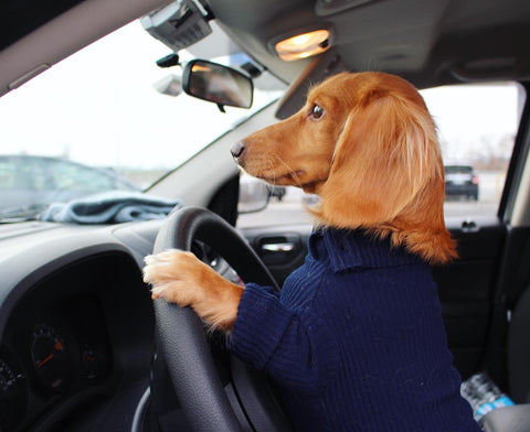 Dachshund driving a car