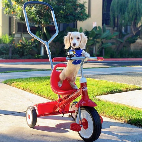 Dachshund on a trike