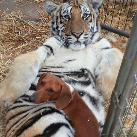 Dachshund snuggles with tiger