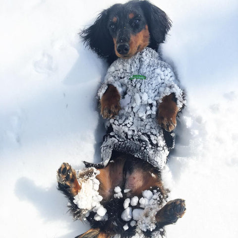 dachshund with snow belly